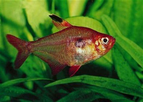 hyphessobrycon callistus rubis du paraguay poisson d