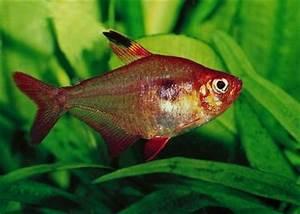 Poisson Aquarium Eau Chaude : hyphessobrycon callistus rubis du paraguay poisson d ~ Mglfilm.com Idées de Décoration