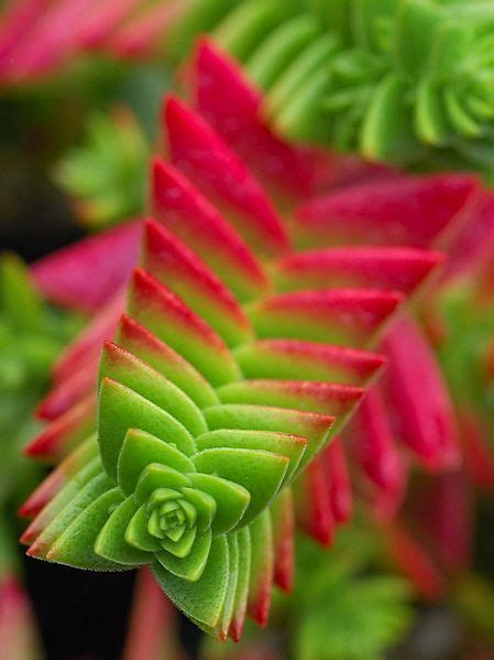 Alluringly Beautiful Crassula Capitella Succulent Cfire Plant For Sale by Conoce La Crassula Pagoda Jardin Cactus Y