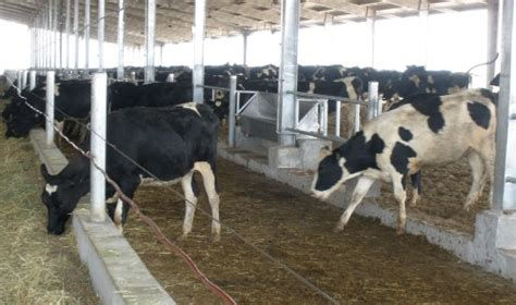 Dairy Cow Shed Design - israel s dairy expertise in israel21c