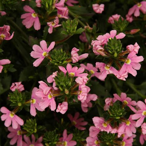 light pink flowers proven winners pink fan flower scaevola live
