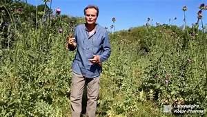 Chardon Marie Plante : plante m dicinale chardon marie silybum marianum youtube ~ Dode.kayakingforconservation.com Idées de Décoration