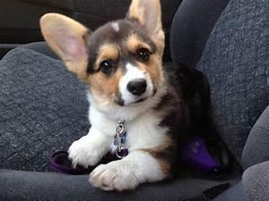 Cute Puppies Tumblr Gif Puppy Corgi Pembroke Welsh Pica ...