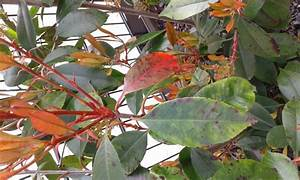 Glanzmispel Braune Flecken : glanzmispel little red robin photinia fraseri little red ~ Lizthompson.info Haus und Dekorationen
