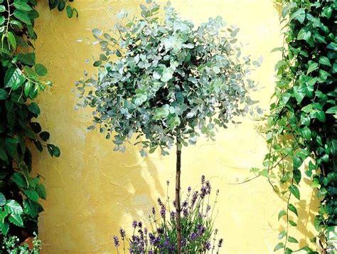 Pěstujeme Eukalyptus Neboli Blahovičník V Bytě I Na
