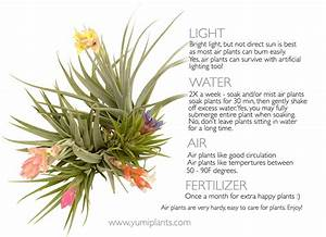 Air Plants Care Instructions  U2013 Yumi Jewelry   Plants