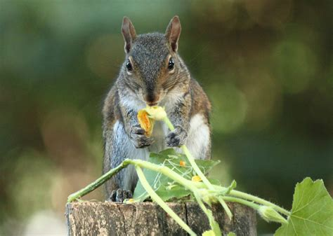 keep squirrels from bulbs keeping squirrels out of the garden bonnie plants