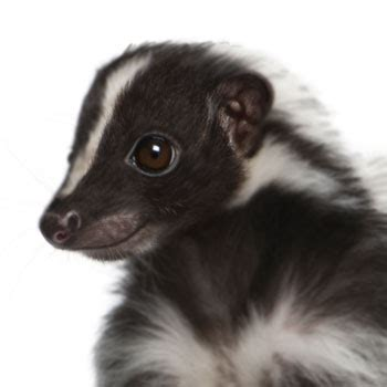 skunks catseye pest control