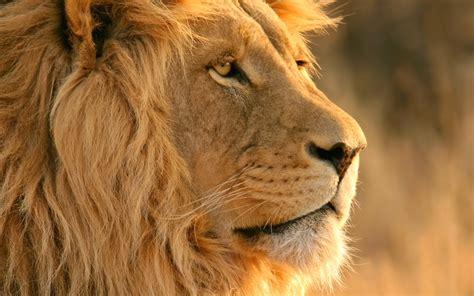 fondos de pantalla leones  trigres hd  enlace