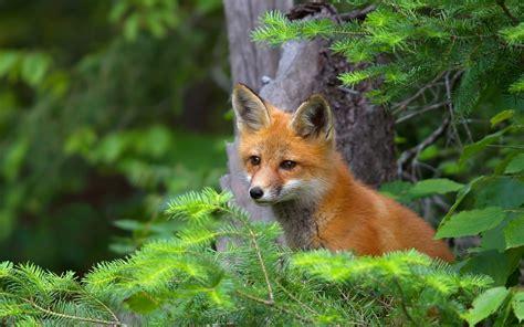 fox wallpapers hd pixelstalknet