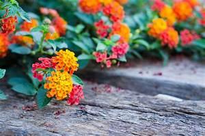 Arbuste Plein Soleil Longue Floraison : arbuste couvre sol liste ooreka ~ Premium-room.com Idées de Décoration
