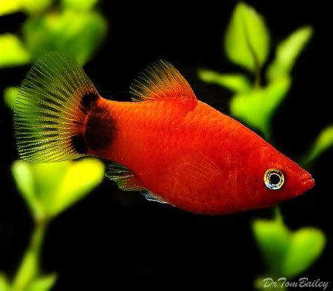 mickey mouse fish mickey mouse platy fish www pixshark com images galleries with a bite