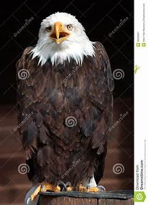 Web Poto American Bald Eagle Stock Image Image Of Raptor Near