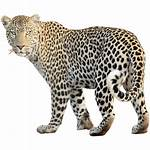 Animal Transparent 1437 Animals Leopard Pngio