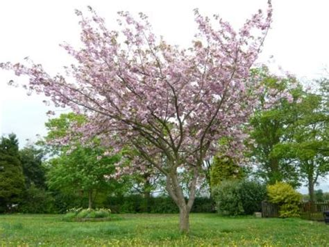 small cherry tree varieties grow flowering cherry trees gardeners tips