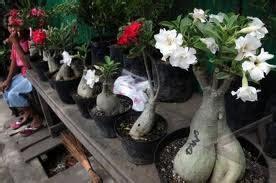 kumpulan kumpulan makalah makalah budidaya bunga kamboja