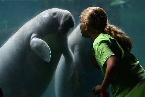 manatees floridas gentle giants deserve  protection