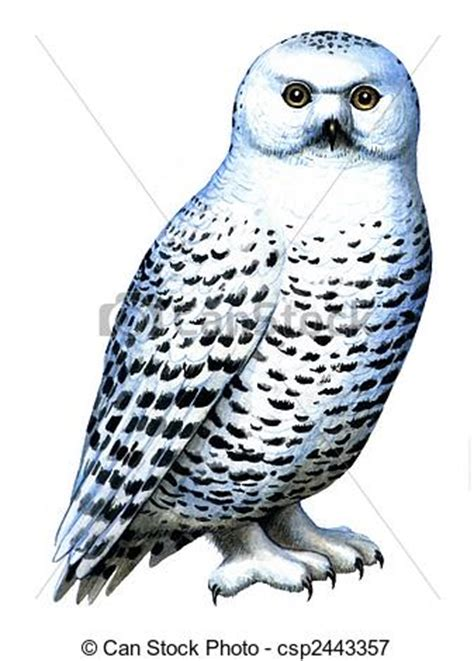 snowy owl clipart   cliparts  images  clipground