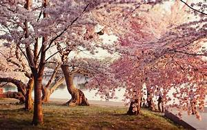 Japanese Cherry Blossom Garden Wallpaper Photo with ...