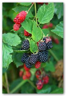 growing blackberries    garden  backyard