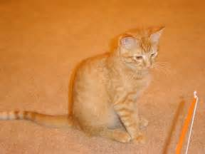 tabby cat orange pictures of purrinn cats hostelry cat hotel guests