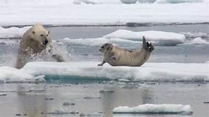 Hambriento oso polar embosca y devora a una foca (vídeo ...