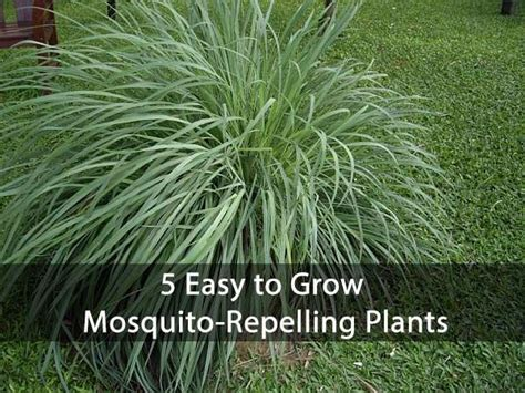 how to grow mosquito plant 5 easy to grow mosquito repelling plants gardening spring summer pests homesteading