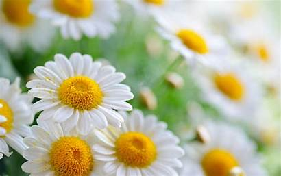 Daisy Flower Wallpapers Beauriful Daisies Awesome Pixelstalk