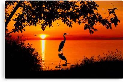 Sunset Heron Megan Noble Redbubble Silhouette