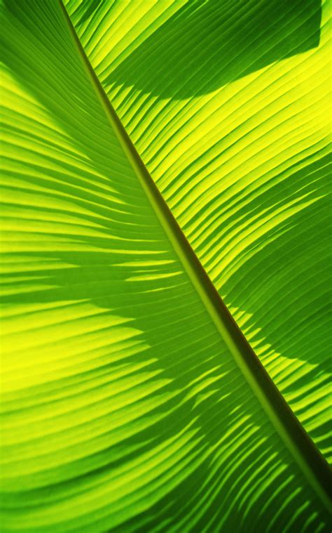 close   bright green banana leaf pattern forms