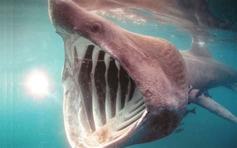 basking shark shark facts  information