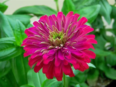 flower homes zinnia flowers