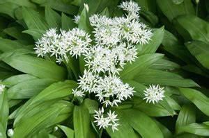 Allium Pflanzen Im Frühjahr : b rlauch allium ursinum selber ziehen ~ Yasmunasinghe.com Haus und Dekorationen