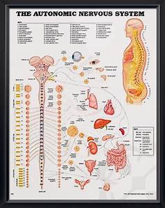 The Autonomic Nervous System Chart 20x26