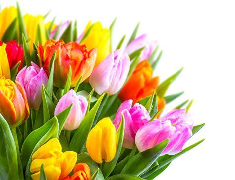 foto tulpen blumen grossansicht weisser hintergrund