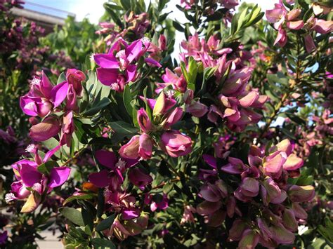 purple trees name top 28 tree with flowers pictures of flowers new zealand tea tree 301 moved permanently