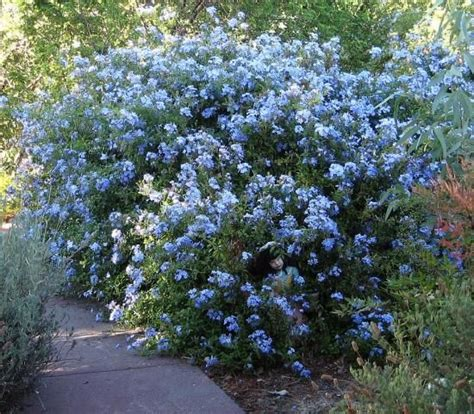 Plumbago 'cape Royale'  Plant Love  Pinterest Perth
