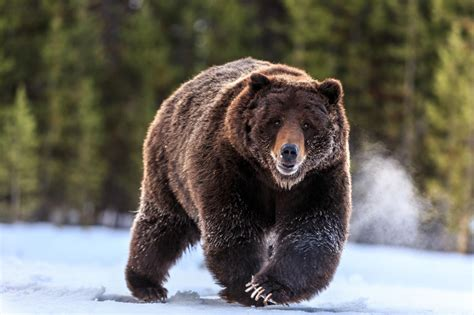 yellowstones grizzly bears    hunted