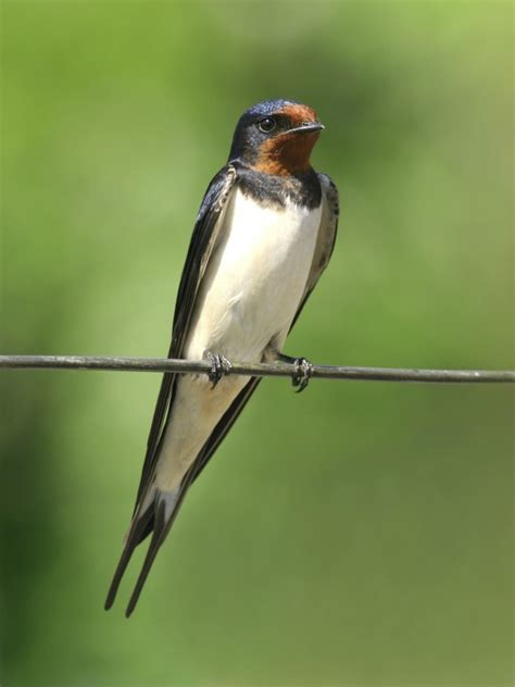 what do barn swallows eat nature canada the barn