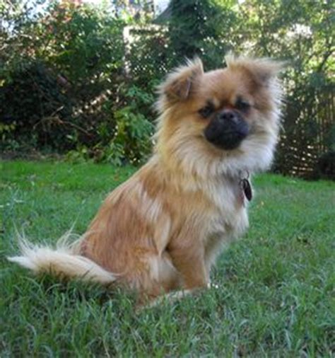 pominese pekingese and pomeranian mix pictures and