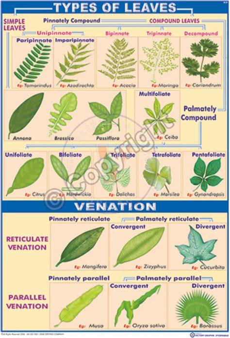 Victory Graphik  B21 Leaf Types And Venation