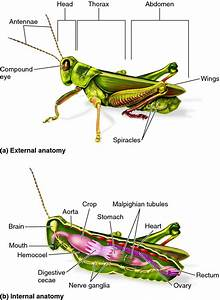 Body Plan Of An Arthropod  As Represented By A Grasshopper