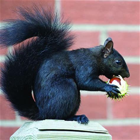 black squirrel catseye pest control
