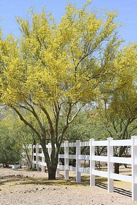 blue palo verde tree  hardy survivor orange county