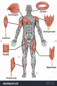 Answers For The Body Systems Diagrams Work Packet