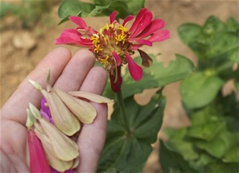 how to save zinnia seeds six seeds for simple collecting from the kitchen garden grateful trees bees