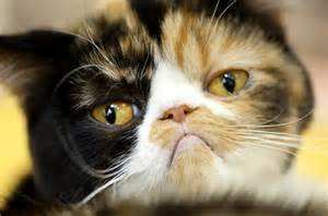 grumpy cat breed why does my cat me 5 cat facts find me a gift
