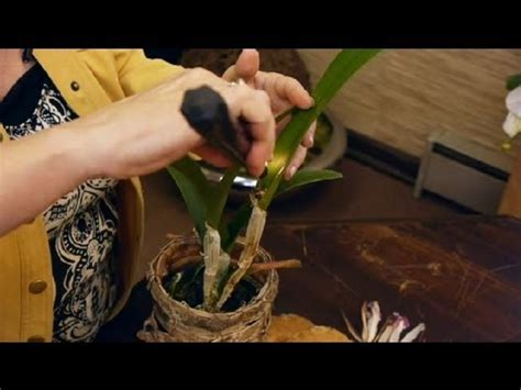 care of orchids after they bloom local orchids scoop awards at french flower expo worldnews com