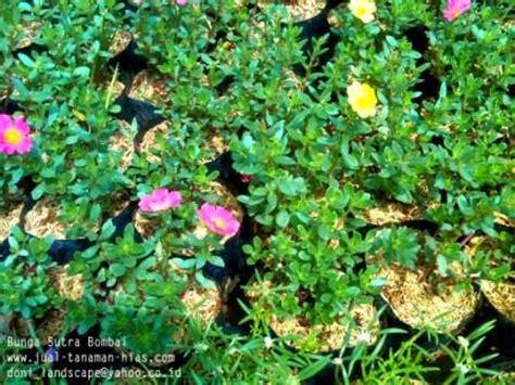 tanaman hias bunga bombai jual lili brazil lili bombay lamtana bunga