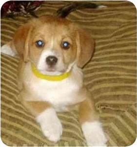 Beagle Pomeranian Mix | www.pixshark.com - Images ...